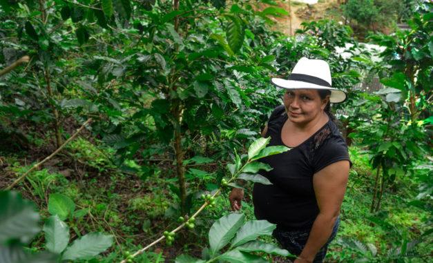 Cultivo de café orgánico con mujer usando sombrero
